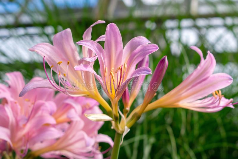 Lírios cor-de-rosa lindos na luz solar imagem de stock royalty free