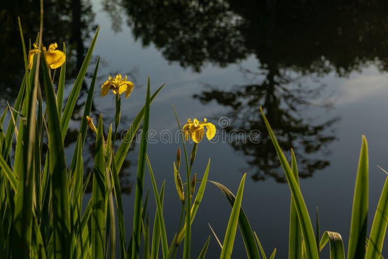 Lírios da bandeira amarela que crescem em seguido pela água fotografia de stock