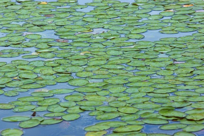 Download Lírios de água imagem de stock. Imagem de lírios, ainda - 10052523
