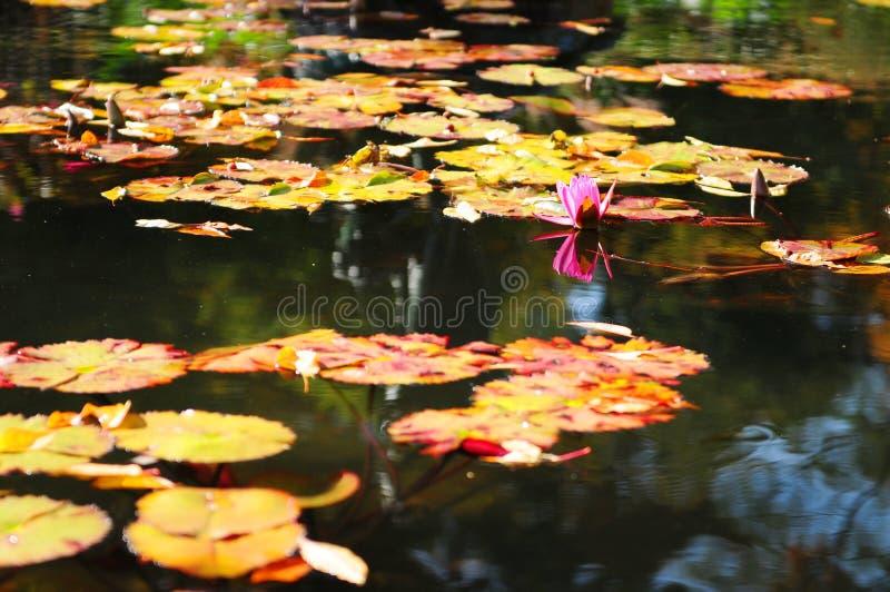 Lírios de água coloridos fotografia de stock