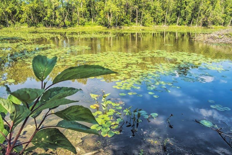 Lírios de água da represa do castor imagens de stock royalty free