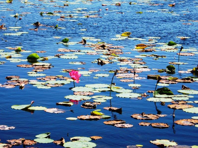Lírios de água dos pantanais de Mareeba imagem de stock
