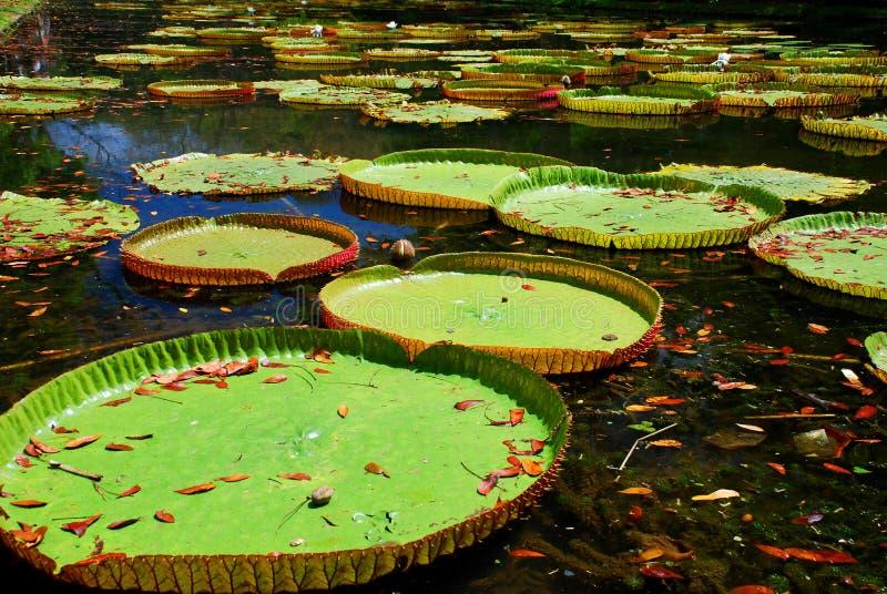 Lírios de água gigantes. Sir Seewoosagur Ramgoolam Botanical Garden, Pamplemousses, Maurícias fotos de stock royalty free