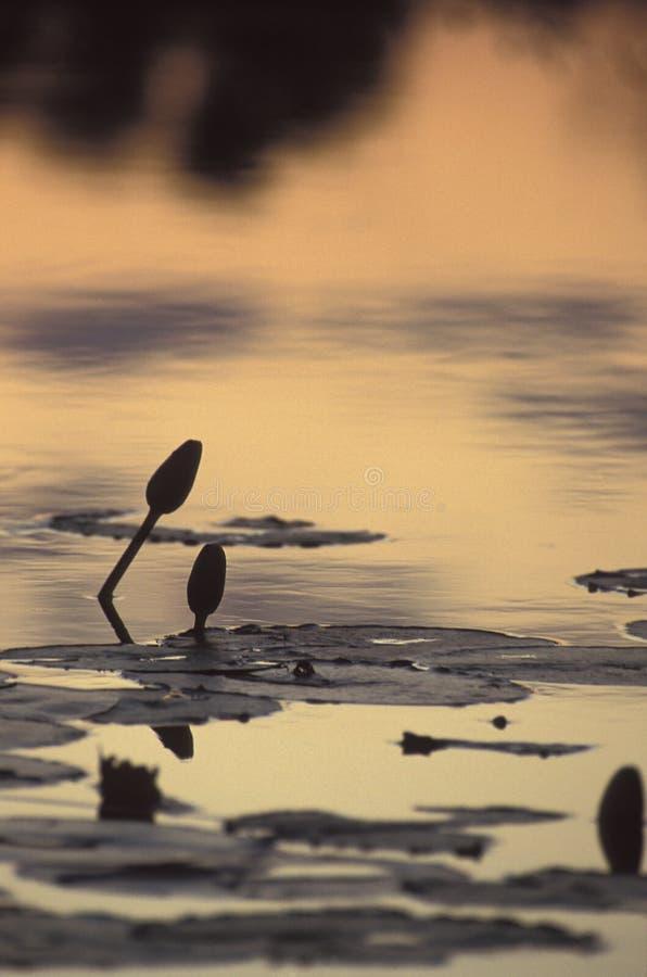 Lírios de água no por do sol no delta de Okavango, Botswana foto de stock royalty free