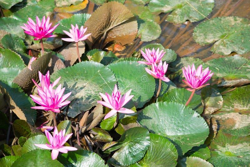 Lírios de água roxos fotos de stock