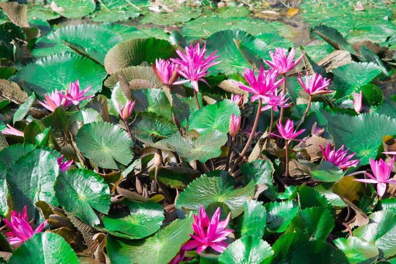 Lírios de água roxos bonitos foto de stock