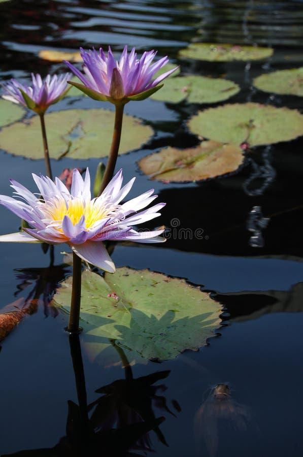 Lírios de água roxos em uma lagoa de peixes em Washington, C.C. foto de stock