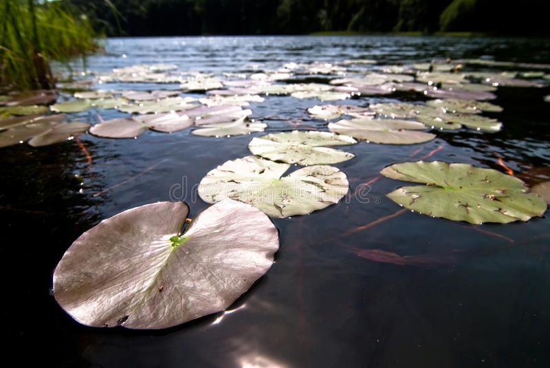 Download Lírios de água V1 foto de stock. Imagem de povos, habitat - 16874604