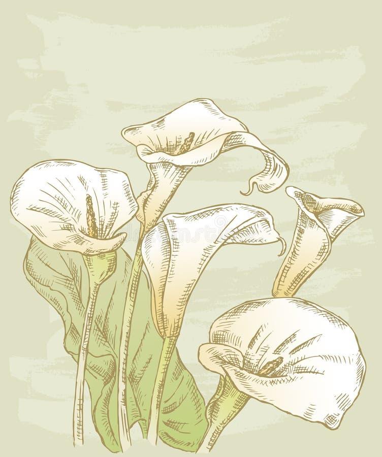 Lírios de Calla ilustração royalty free