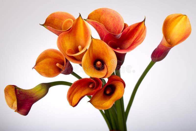 Lírios de Calla alaranjados (Zantedeschia) sobre o branco fotos de stock royalty free