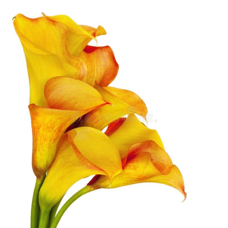 Lírios de Calla amarelos imagem de stock royalty free