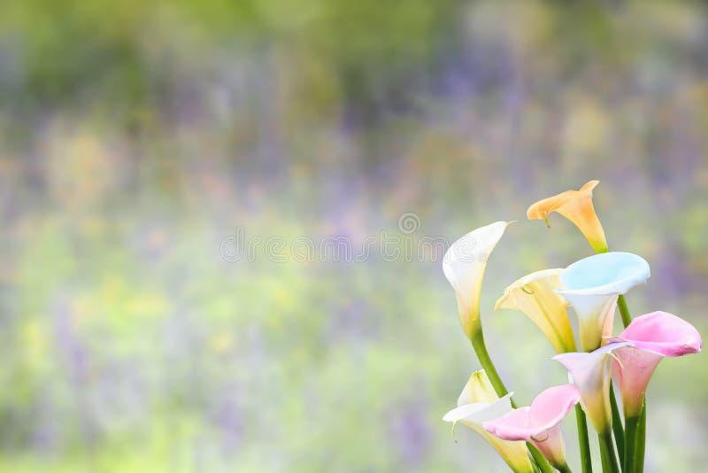Lírios de Calla coloridos bonitos com cor agradável do fundo imagem de stock royalty free