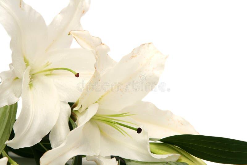 Lírios de Easter imagem de stock royalty free