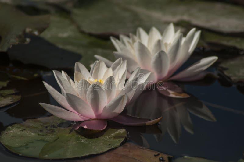 Lírios delicados que crescem em uma lagoa foto de stock
