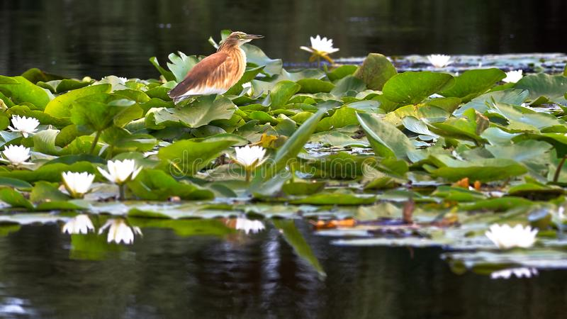 Lírios do pássaro e de água fotografia de stock royalty free
