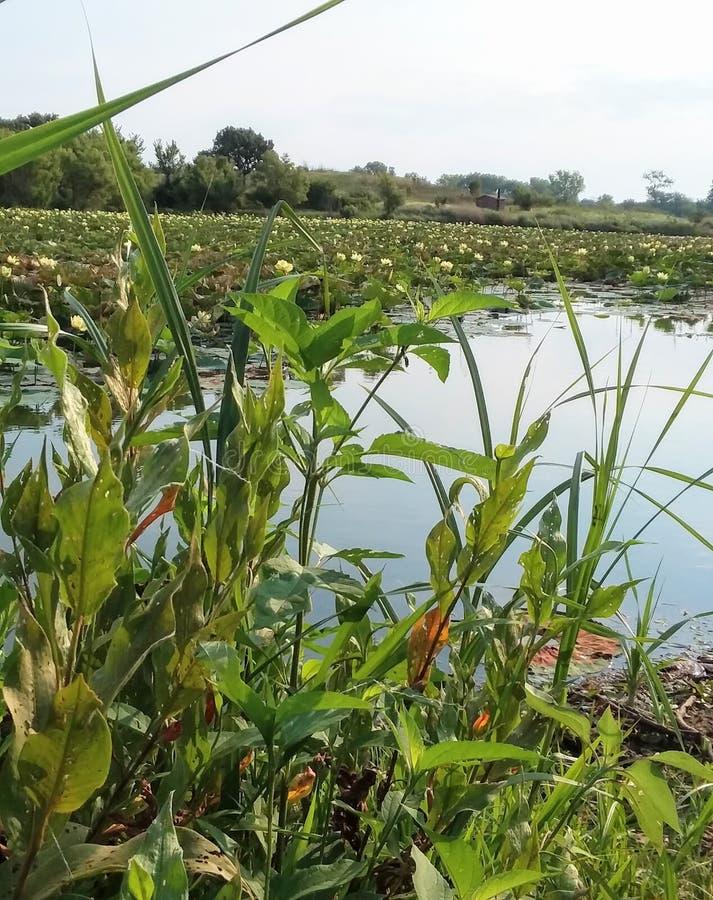 Lírios e vegetação de água no lago quieto imagem de stock