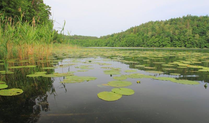 Lírios na superfície da água fotografia de stock