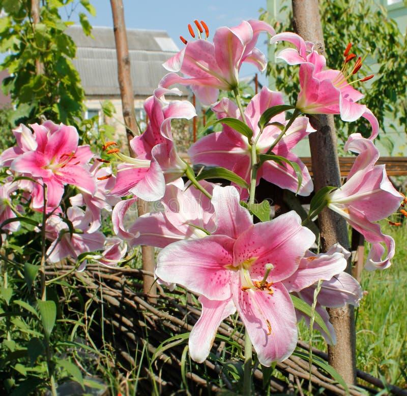 Lírios no jardim fotografia de stock royalty free