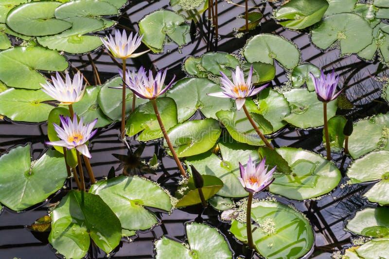 Lírios no jardim botânico do jardim de Kew, Inglaterra fotos de stock royalty free