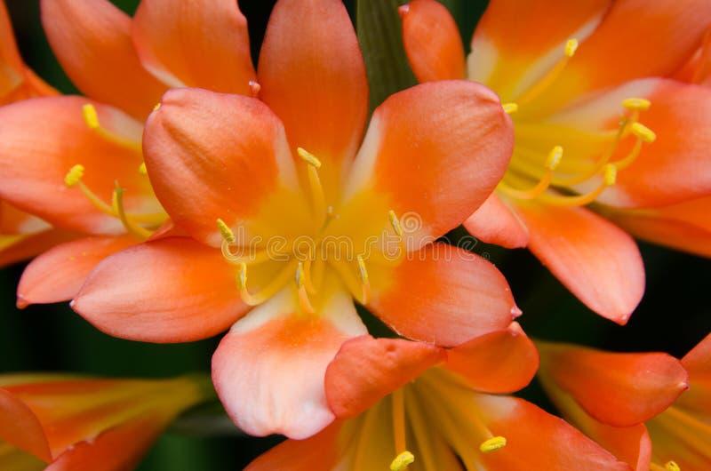 Lírios tropicais alaranjados e amarelos imagem de stock