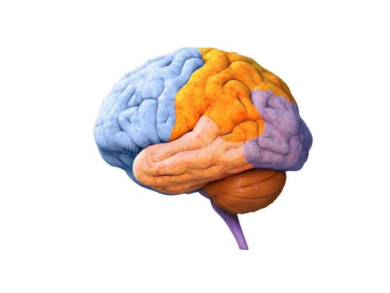 Lóbulos del cerebro ilustración del vector