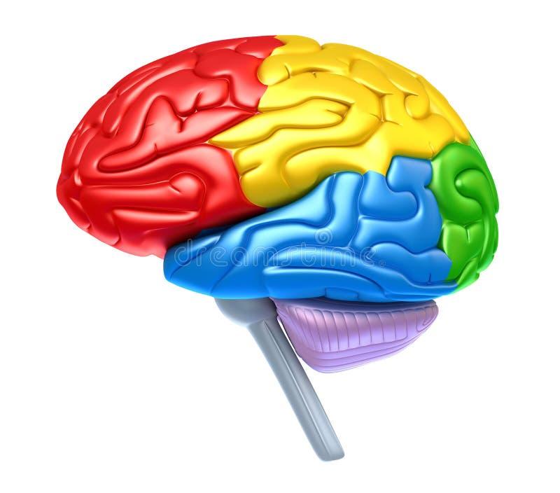 Lóbulos do cérebro em cores diferentes ilustração do vetor
