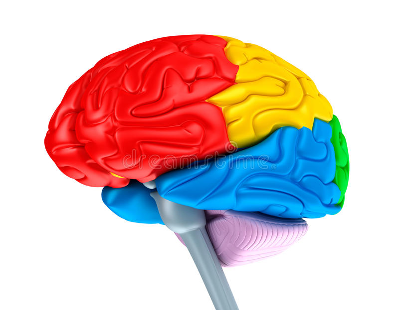 Lóbulos do cérebro em cores diferentes. Isolado no branco. ilustração royalty free
