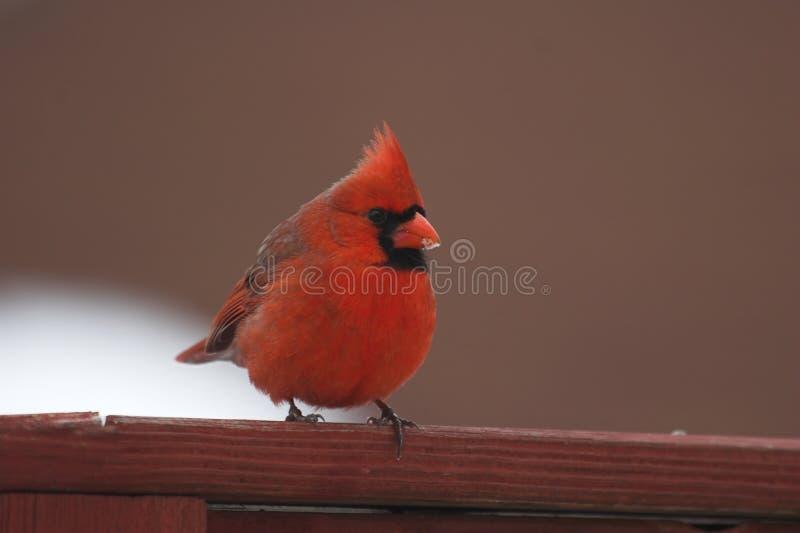 lód kardynała, fotografia royalty free