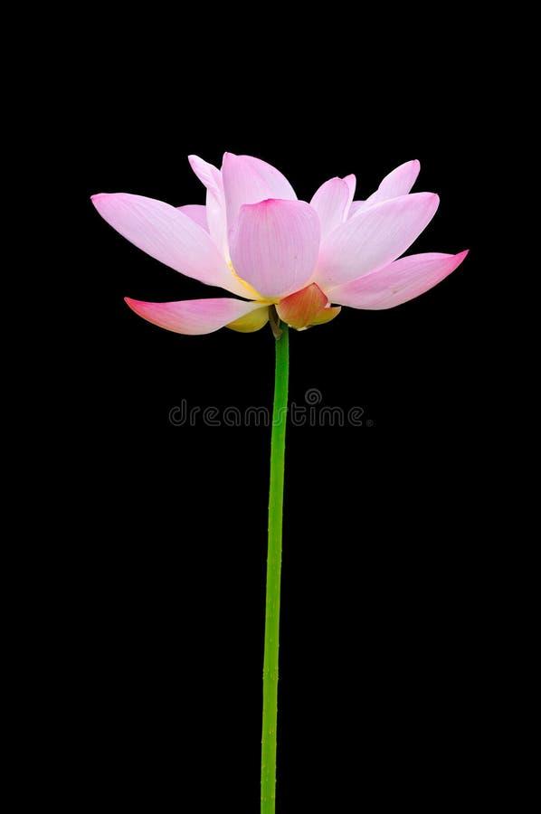 Download Lótus imagem de stock. Imagem de vida, lago, hastes, povos - 12805371