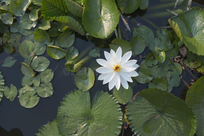 Lótus brancos bonitos foto de stock royalty free