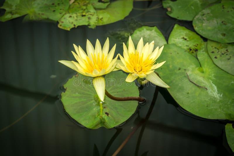 Lótus brancos com as folhas verdes dos lótus fotografia de stock royalty free