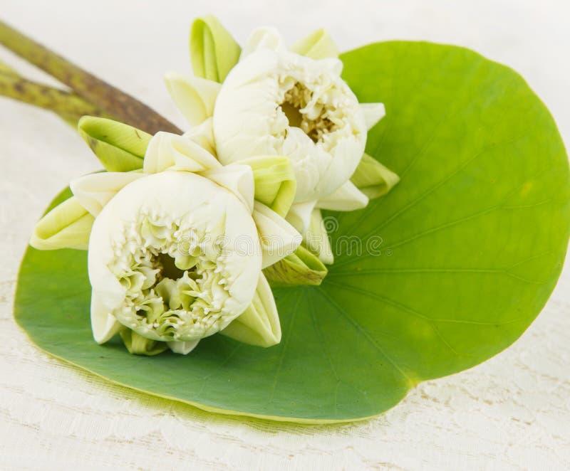 Lótus brancos com a pétala da dobra na folha verde foto de stock