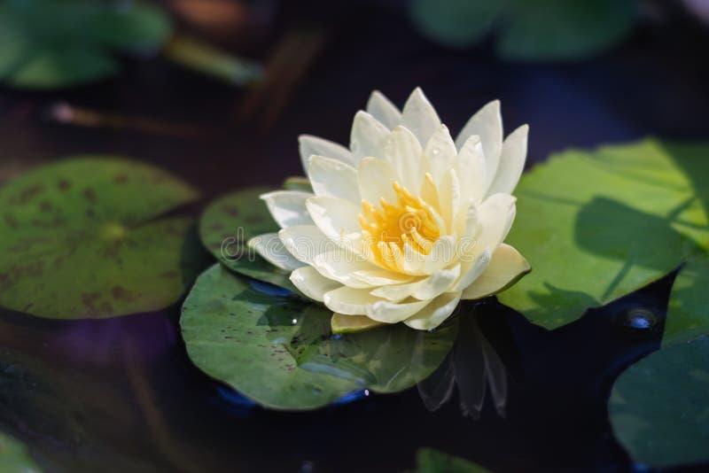 lótus brancos da beleza na lagoa com folha verde fotografia de stock royalty free