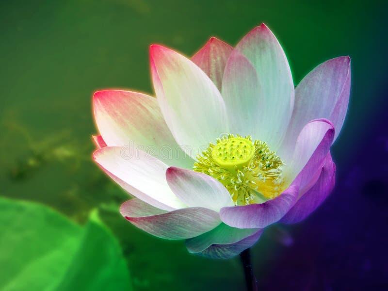 lótus coloridos que flutuam na luz solar da associação na manhã fotos de stock royalty free
