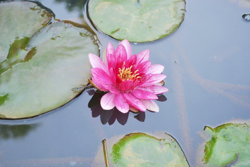 Lótus cor-de-rosa bonitos fotografia de stock