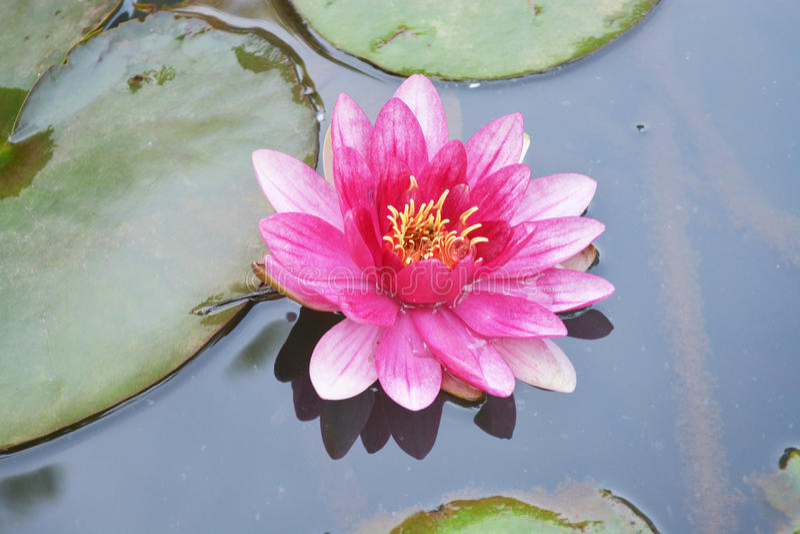 Lótus cor-de-rosa bonitos fotos de stock