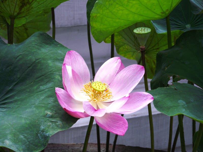 Lótus cor-de-rosa bonitos na lagoa imagens de stock