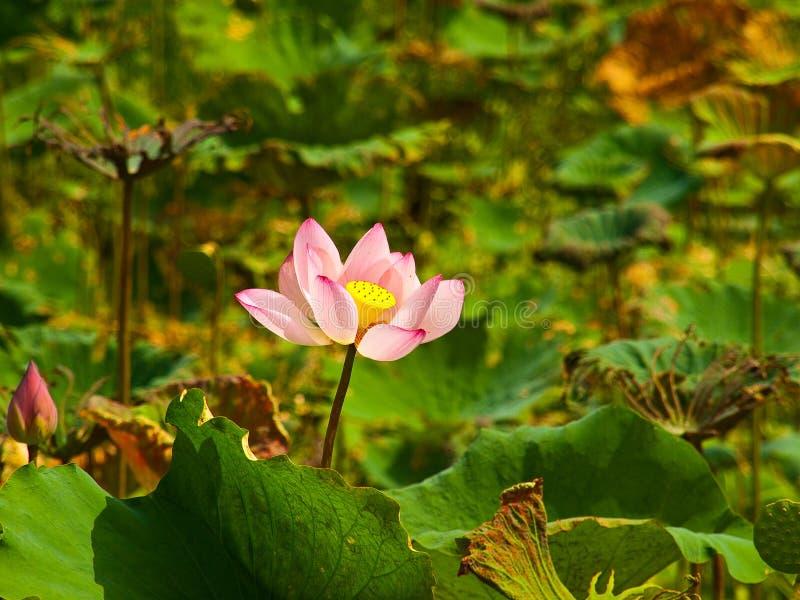 Download Lótus cor-de-rosa imagem de stock. Imagem de trabalho - 29825495