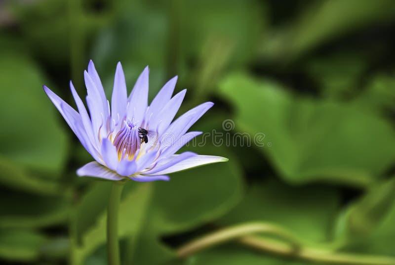 Lótus da flor fotografia de stock royalty free