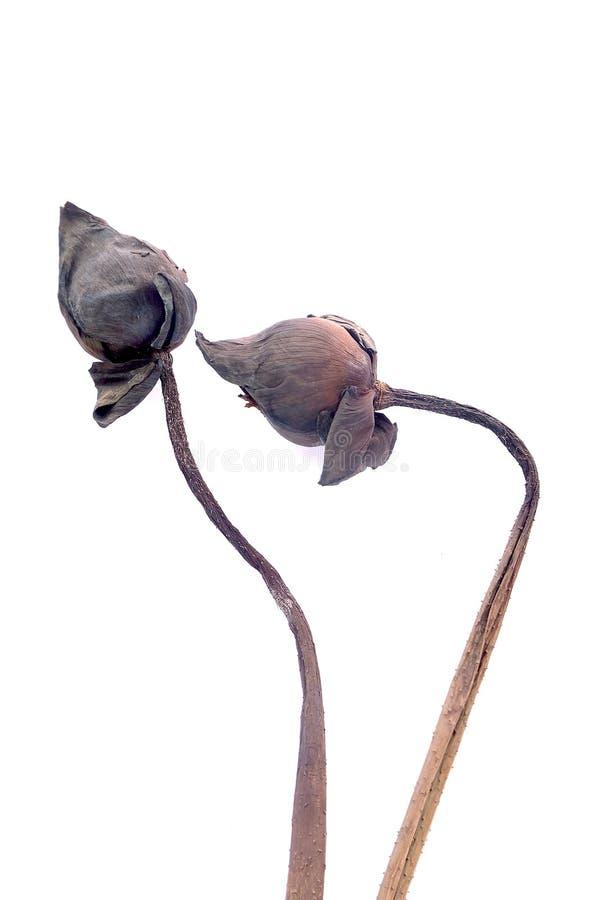 Lótus da queimadura, flores de lótus murchos fotos de stock