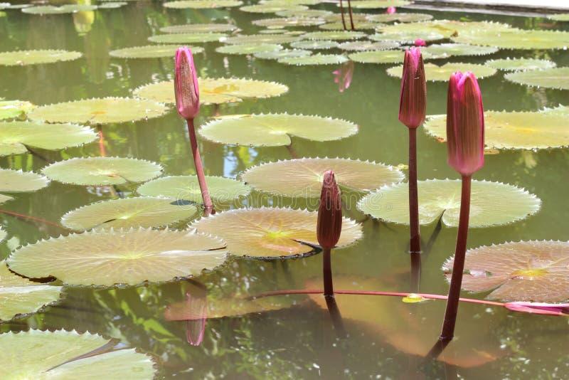 Lótus de brotamento na lagoa imagem de stock