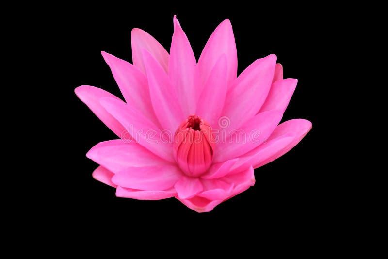 Lótus de florescência cor-de-rosa Ilustra??o do zen da flor dos l?tus Isolado no fundo foto de stock