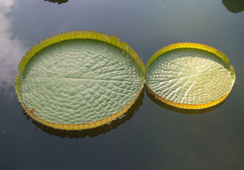Lótus de flutuação enormes, lírio de água gigante das Amazonas fotos de stock