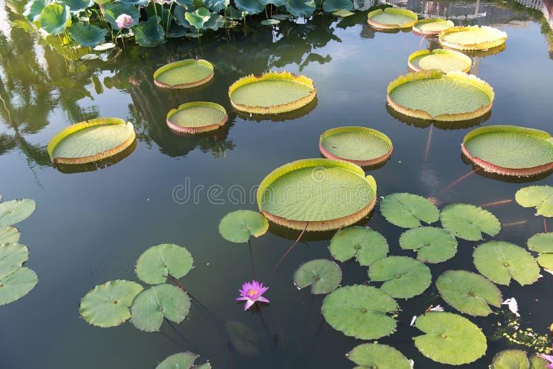 Lótus de flutuação enormes, lírio de água gigante das Amazonas imagem de stock royalty free