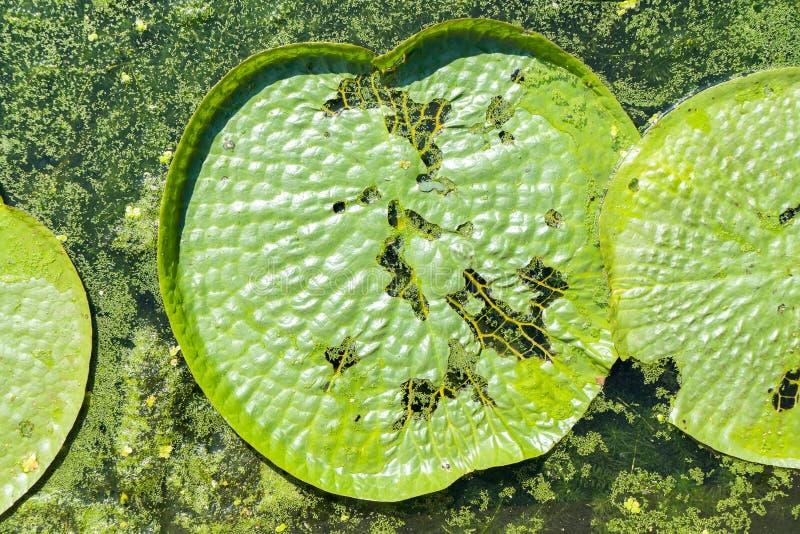 Lótus de flutuação enormes, lírio de água gigante das Amazonas imagens de stock royalty free