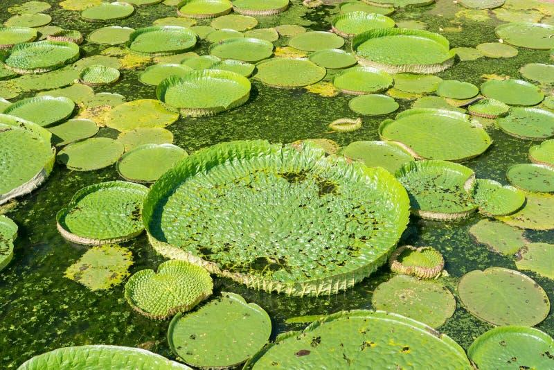 Lótus de flutuação enormes, lírio de água gigante das Amazonas foto de stock royalty free