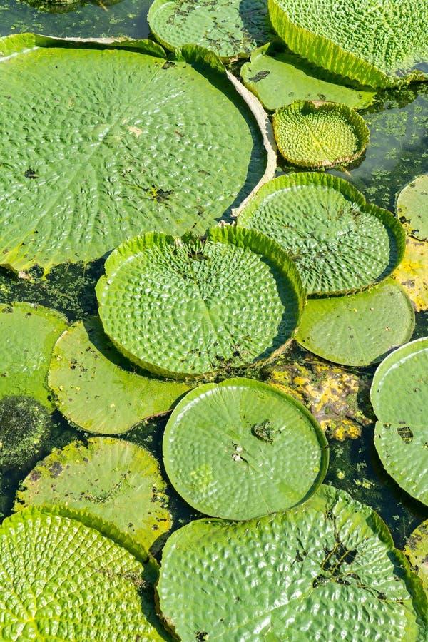 Lótus de flutuação enormes, lírio de água gigante das Amazonas fotografia de stock royalty free
