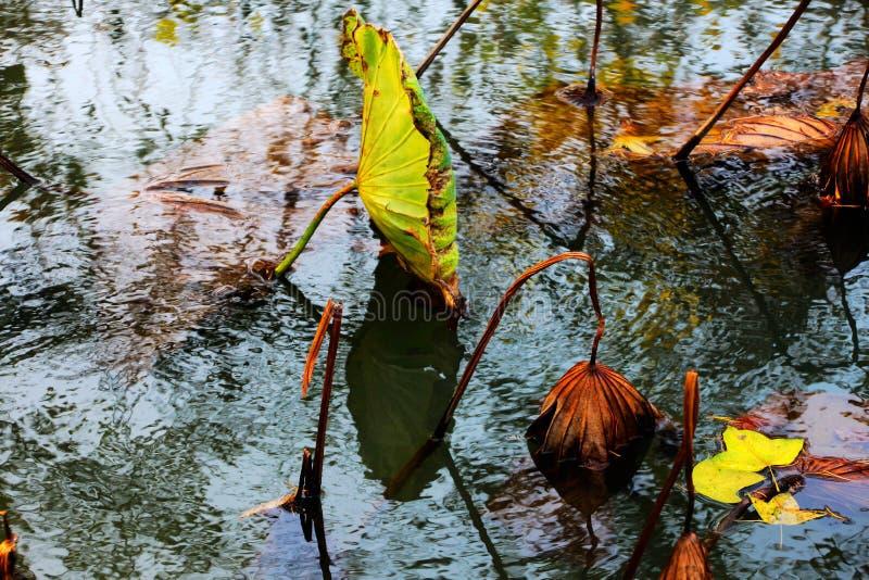 Lótus de sopro da brisa da lagoa do outono, acenando o balanço da carga residual sob o por do sol imagens de stock royalty free
