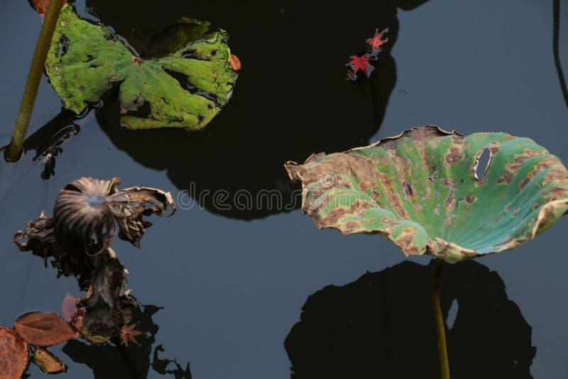 Lótus de sopro da brisa da lagoa do outono, acenando o balanço da carga residual sob o por do sol foto de stock