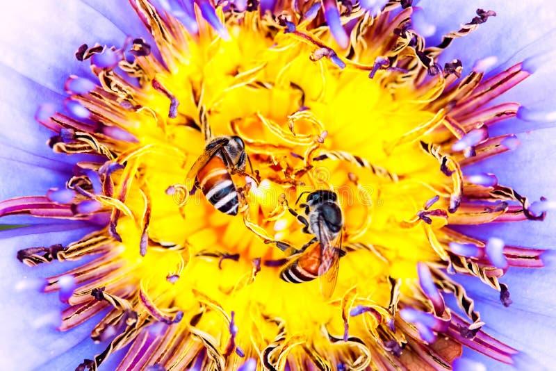 Lótus gêmeos do voo da abelha foto de stock